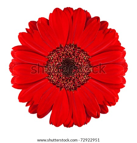 Perfect Red Gerbera Flower Closeup Isolated on White Background