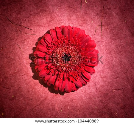 perfect red gerbera in beautiful full blossom with focused spotlight
