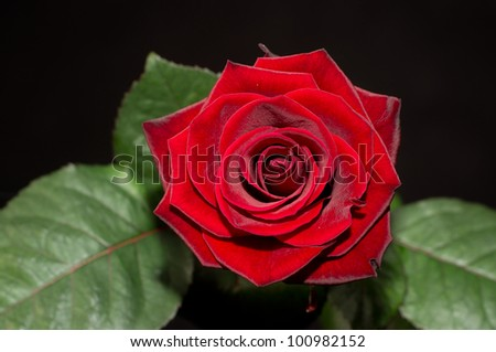 Perfect Red Rose Flowerhead Isolated - stock photo