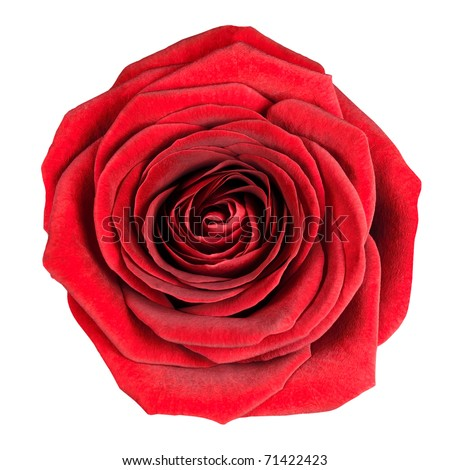 Perfect Red Rose Flowerhead Isolated on White Background. Top View on Big Red Rose Flower