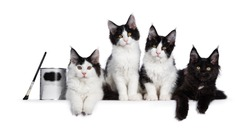 Perfect row of 4 black and white Maine Coon cat kittens, sitting / laying beside each other with can of paint. All looking straight at camera with yellow / golden eyes. Isolated on white background.