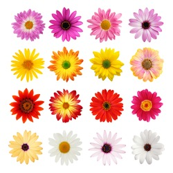 Perfect spring daisies isolated on white with clipping path