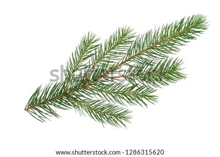 Perfect spruce branch isolated on a white background in close-up (high details)