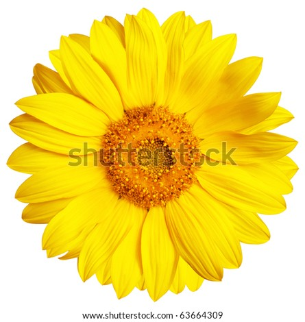 Perfect Sunflower, completely isolated on white background - stock photo