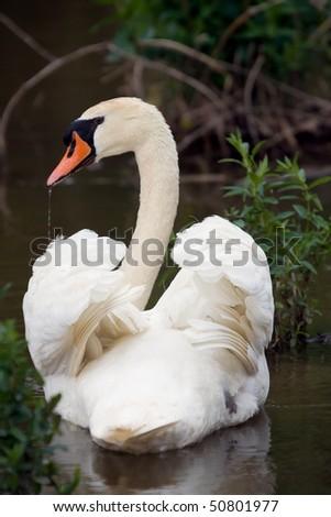 Stock Photo Perfect Swan pose