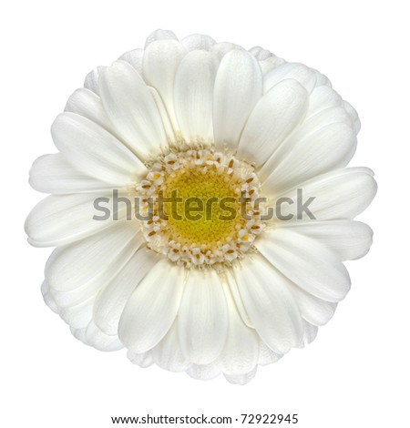 Perfect White Gerbera Flower with Yellow Center Macro Closeup Isolated on White Background