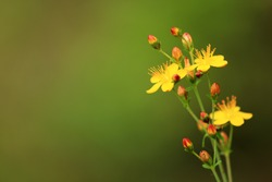 Perforate St John´s wort