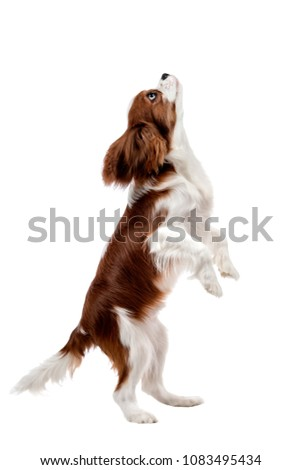 performing pure-bred dog, puppy Cavalier King Charles Spaniel, stand up on hind legs, isolated ストックフォト ©