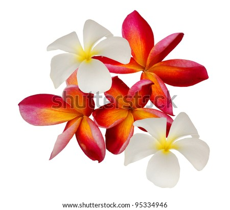 Perfume frangipani flowers over white