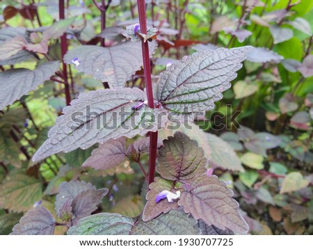 Perilla frutescens var. crispa, also known by its Japanese name shiso, growing in the outdoors park Imagine de stoc ©