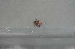 Perillus bioculatus, the two-spotted stink bug or double-eyed soldier bug, is a species of insect in the family Pentatomidae. India Hemiptera Arthropoda.