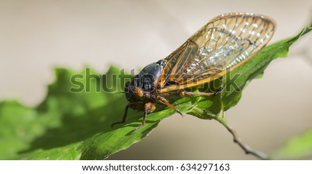 periodical cicada on leaf with blurred background