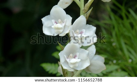 Peristeria elata, is a genus of plants belonging to the family Orchidaceae commonly called dove orchid or Holy Ghost orchid. To be found in Latin America