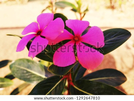Periwinkle, commonly known as Madagascar periwinkle, rose periwinkle, or rosy periwinkle, is a species of flowering plant in the dogbane family Apocynaceae. #1292647810
