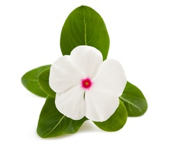 periwinkle flower isolated on white