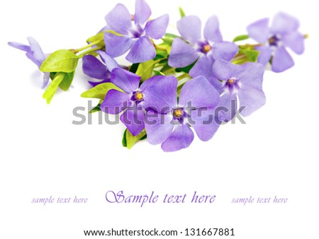 periwinkle on white background