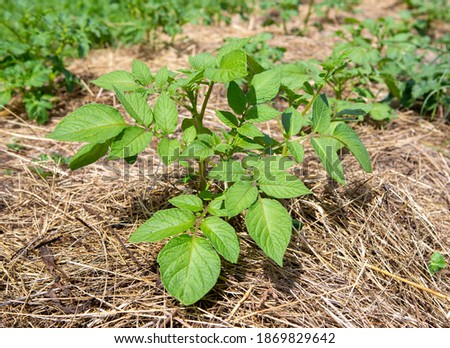 Permaculture organic gardening: Potato plant growing outdoors in mulch of dried hay. Stock photo ©