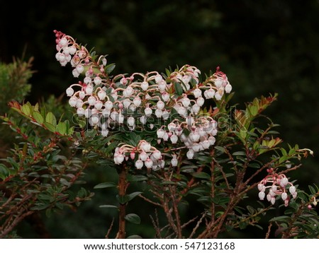 Pernettya coriacea is endemic for Poas Volcano. Costa Rica, Alajuela Province, Central Cordillera, Poas Volcano