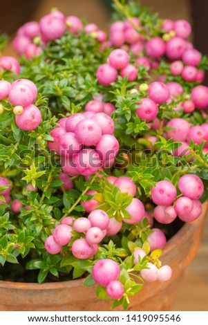 Pernettya Pinkberry Berry. Decorative evergreen shrub of the heather family. Pernettya fruits are pink white purple. Berry inedible garden decoration #1419095546