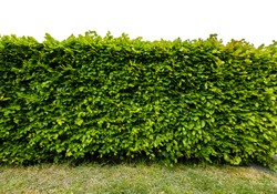 Perpendicular view of a stretch of beech hedge with grass in front, Isolated on a white background
