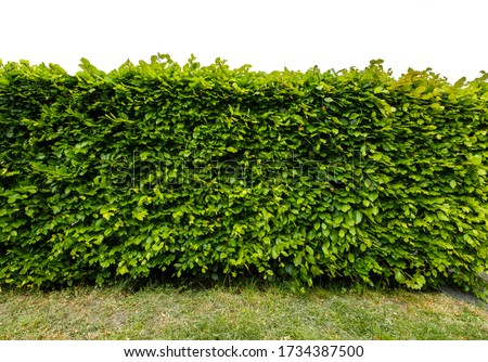 Perpendicular view of a stretch of beech hedge with grass in front, Isolated on a white background Stock fotó ©