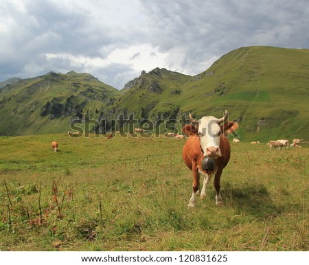 Perplexed white and brown cow in the Alps mountains by stormy weather, Switzerland
