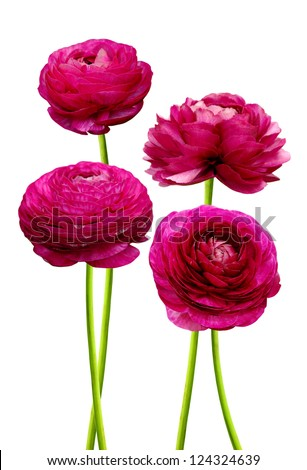 Persian buttercup flowers (ranunculus), isolated white background