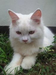 Persian cat bigeye