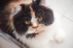 Persian Cat  calico Three colored. Staring at the camera cute animal friends. beautiful cats