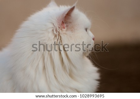 Persian Cat domestic #1028993695