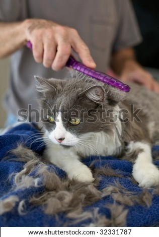 Persian cat getting a haircut at home. Selective focus on cat's face.