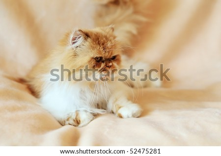 stock-photo-persian-cat-in-soft-focus-laying-on-the-sofa-52475281.jpg