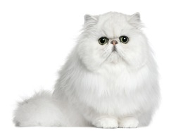 Persian cat, 8 months old, sitting in front of white background