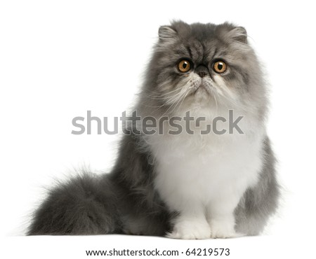 Persian cat, 6 months old, sitting in front of white background