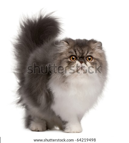 Persian cat, 6 months old, standing in front of white background