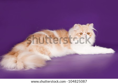 Persian cat on violet background