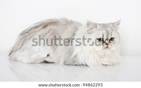 persian cat on white background, persian cat