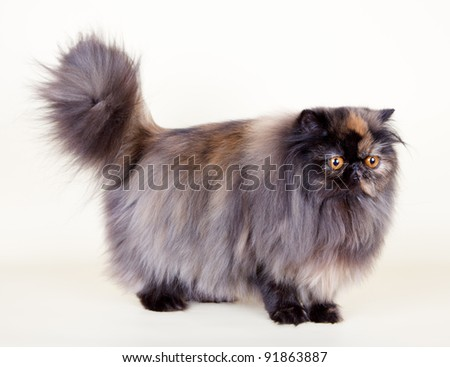 Persian cat on yellow background