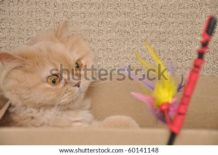 Persian cat play the toy