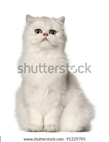 Persian cat, sitting in front of white background