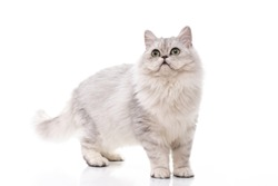 Persian cat walking on white background,isolated