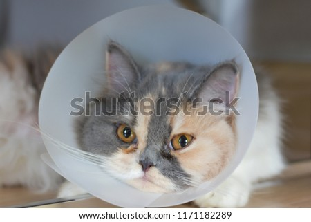 Persian cat wearing a protective collar also called Elizabethan Collars or E-Collars for Cats #1171182289