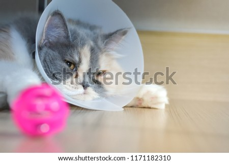 Persian cat wearing a protective collar also called Elizabethan Collars or E-Collars for Cats #1171182310