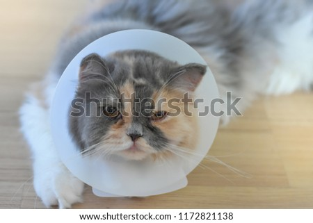 Persian cat wearing a protective collar also called Elizabethan Collars or E-Collars for Cats #1172821138
