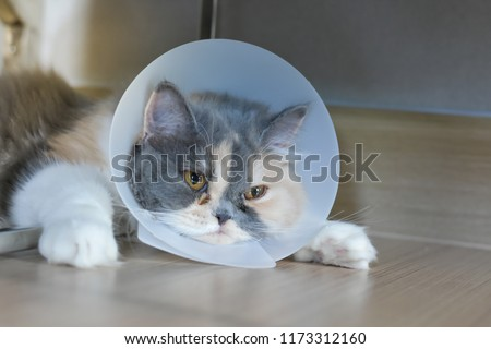 Persian cat wearing a protective collar also called Elizabethan Collars or E-Collars for Cats #1173312160