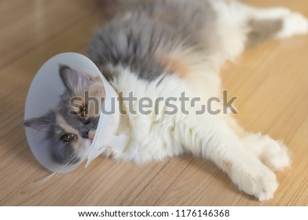 Persian cat wearing a protective collar also called Elizabethan Collars or E-Collars for Cats #1176146368