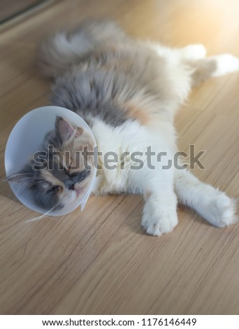 Persian cat wearing a protective collar also called Elizabethan Collars or E-Collars for Cats #1176146449