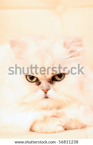 Persian cat with white wool, intently looks