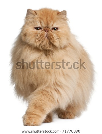Persian cat, 3 years old, in front of white background