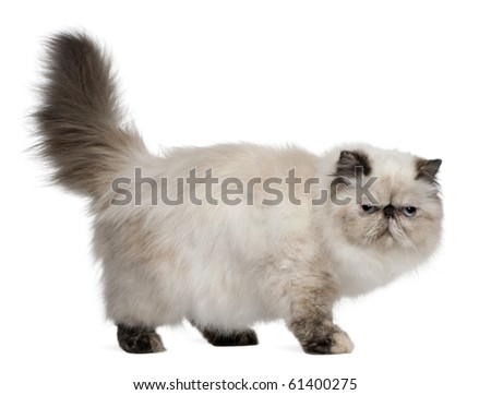 Persian Cat, 2 years old, standing in front of white background